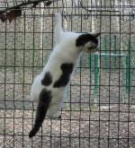 Les chats en chatterie Sdv_a3-a75556